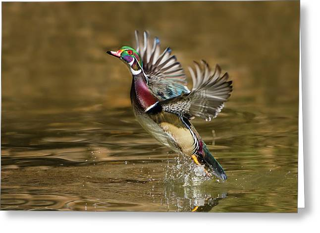 Wood Duck (aix Sponsa Greeting Card by Larry Ditto