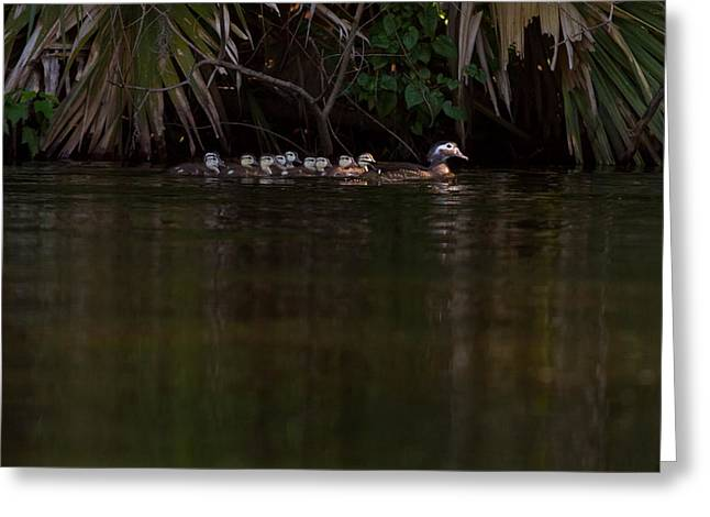 Wood Duck And Ducklings Greeting Card by Paul Rebmann