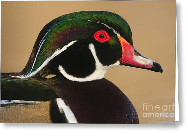 Wood Duck Color Greeting Card