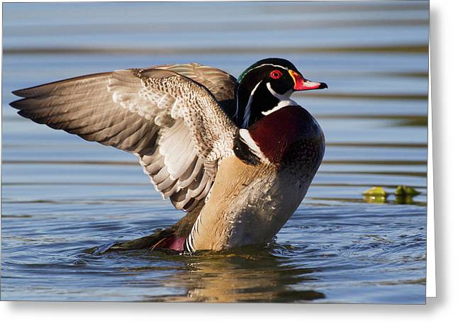 Wood Duck Drake Drying Wings Greeting Card by Ken Archer