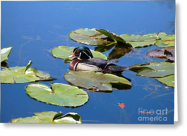 Wood Duck Greeting Card by Gayle Swigart