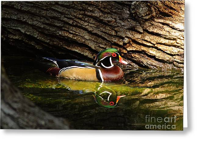 Wood Duck In Wood Greeting Card by Robert Frederick