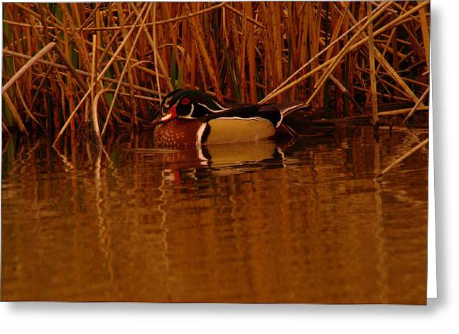 Wood Duck  Greeting Card by Jeff Swan