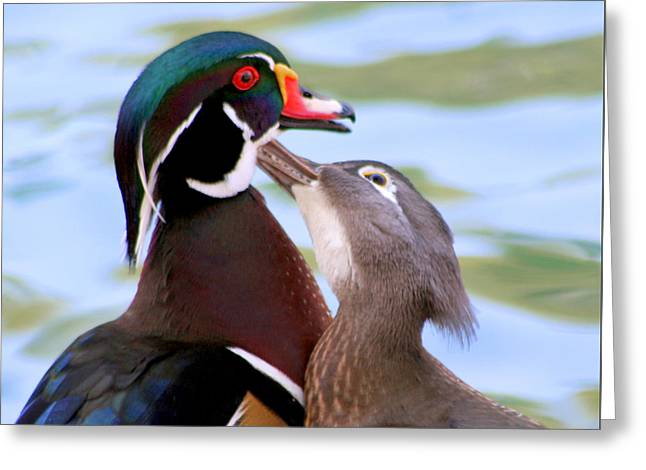 Wood Duck Love Greeting Card by Bob and Jan Shriner