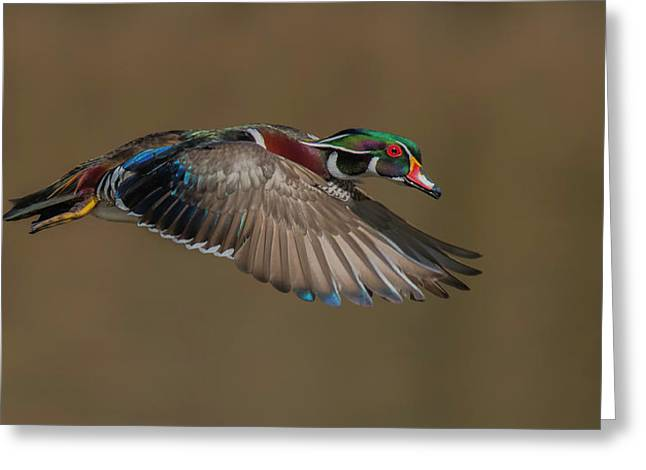 Wood Duck-male In-flight Greeting Card