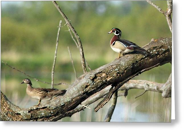 Wood Duck Pair In Tree Greeting Card
