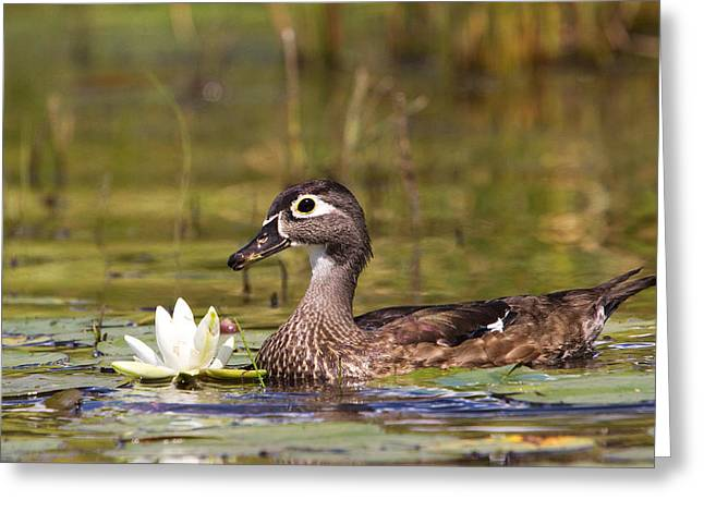 Wood Duck Greeting Card by Stephanie McDowell