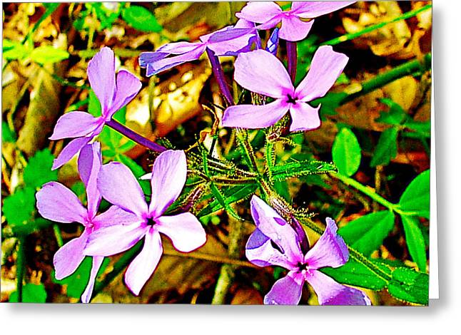Wood Phlox Along Rocky Spring Trail On  Natchez Trace Parkway-alabama  Greeting Card