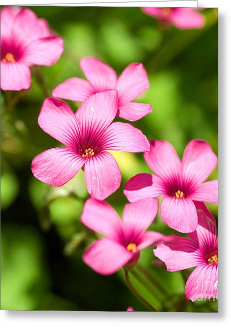 Wood Sorrel Greeting Card