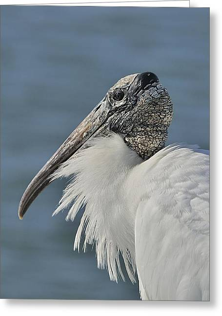 Wood Stork Portrait Greeting Card