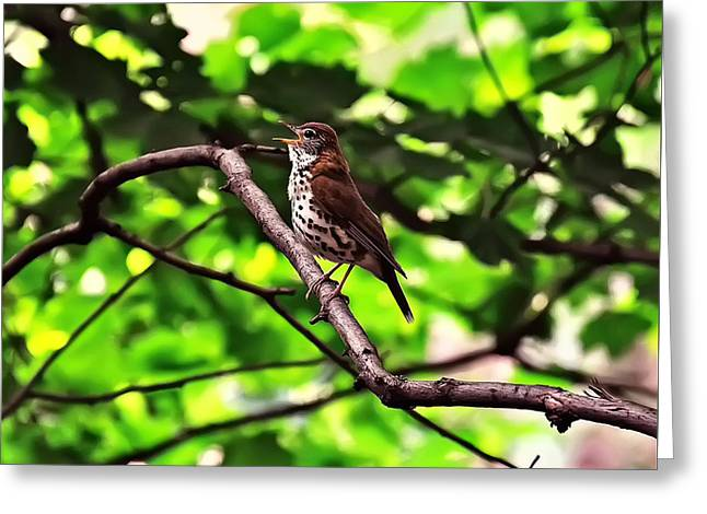 Wood Thrush Singing Greeting Card by Chris Flees