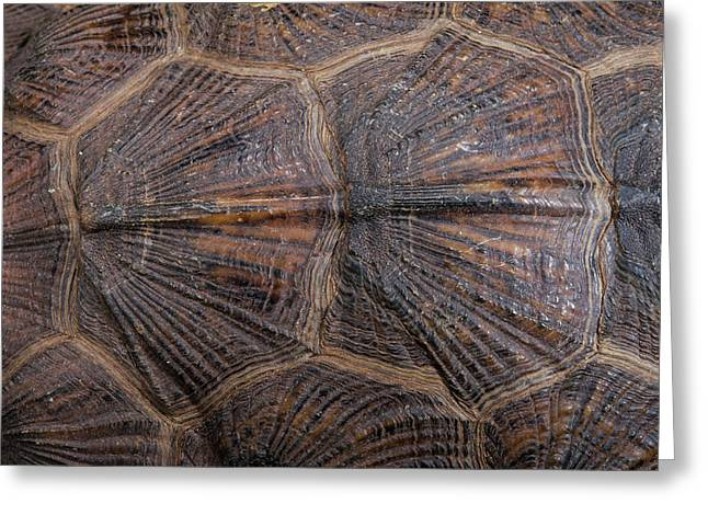 Wood Turtle (glyptemys Insculpta Greeting Card by Pete Oxford