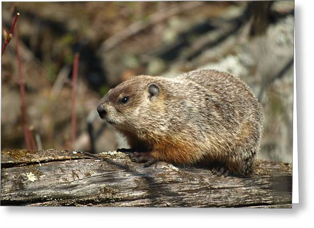 Greeting Card featuring the photograph Woodchuck by James Peterson