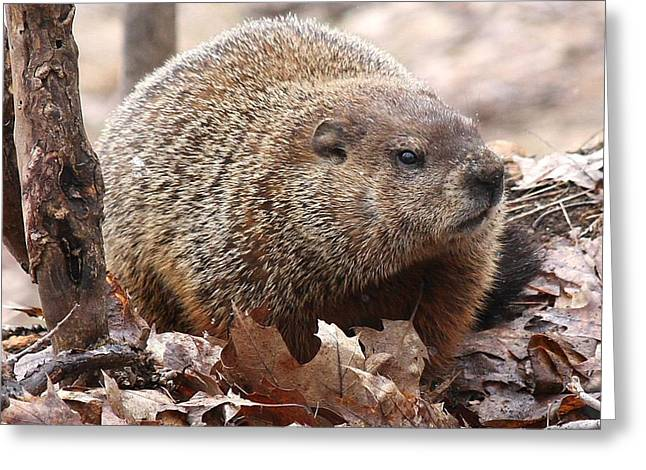 Woodchuck Watching Greeting Card by Doris Potter