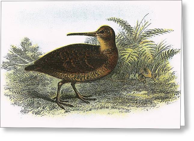 Woodcock Greeting Card by English School