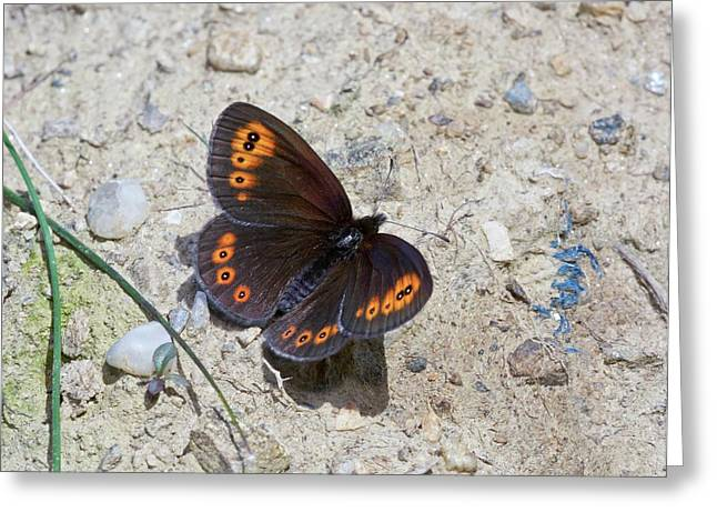 Woodland Ringlet Butterfly Greeting Card by Bob Gibbons