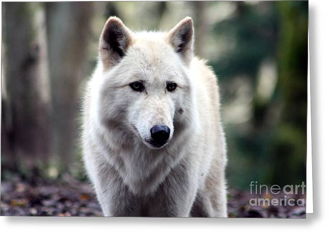 Woodland White Wolf Greeting Card