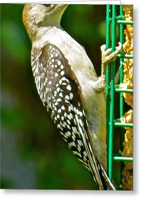 Woodpecker 101 Greeting Card by Patsy Pratt