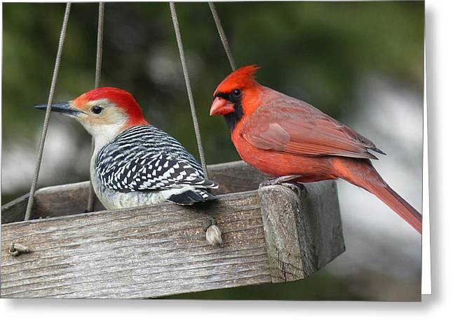 Woodpecker And Cardinal Greeting Card by John Kunze