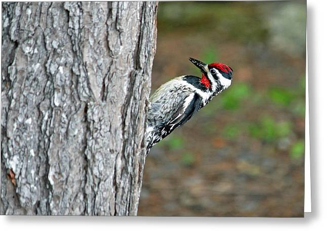 Greeting Card featuring the photograph Woodpecker by Barbara West