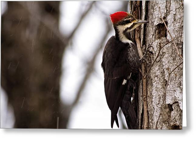 Woodpecker In Snowfall Greeting Card by Francis Sullivan