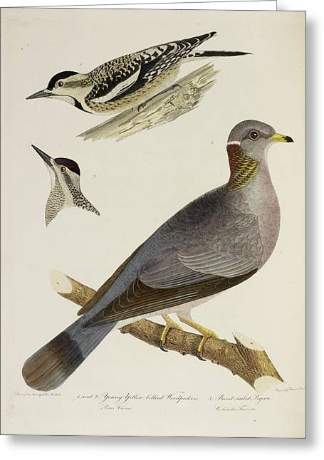 Woodpeckers And Pigeon Greeting Card by British Library