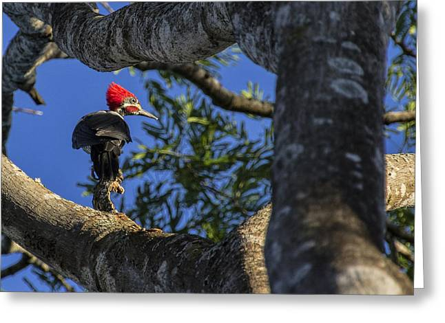 Woody Woodpecker Greeting Card by David Gleeson