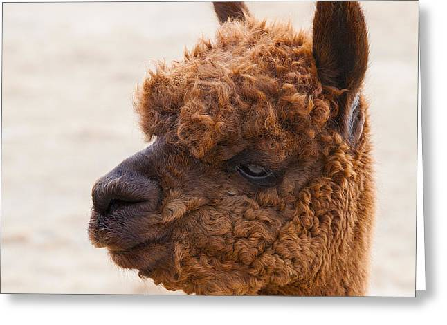 Woolly Alpaca Greeting Card by Jerry Cowart