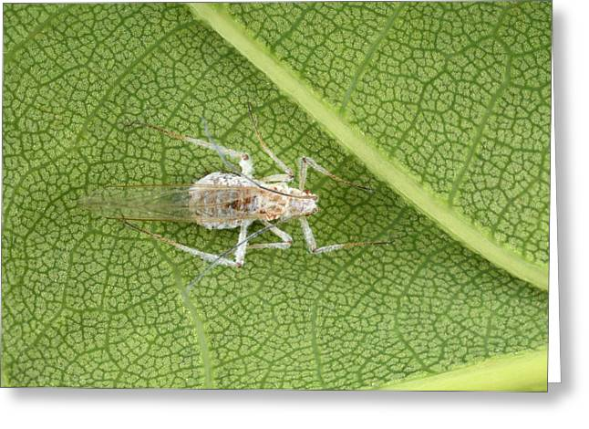 Woolly Apple Aphid Greeting Card