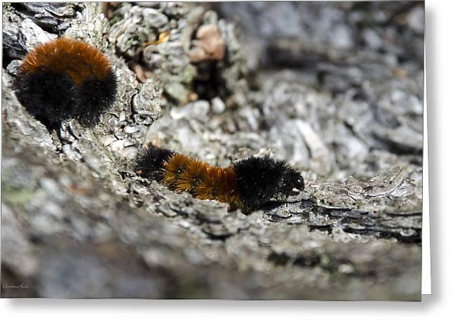 Woolly Bear Caterpillar Greeting Card by Christina Rollo
