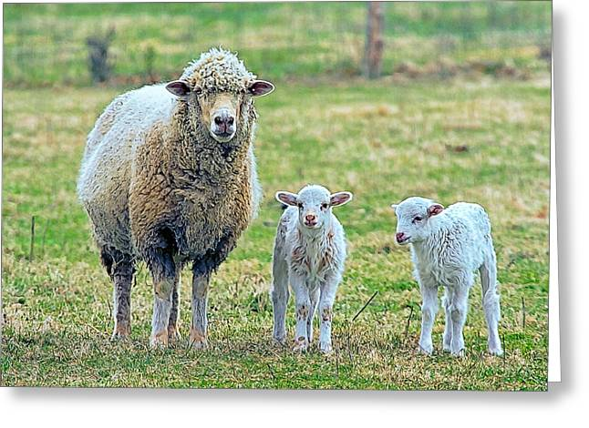 Wooly Babies   Greeting Card by Constantine Gregory