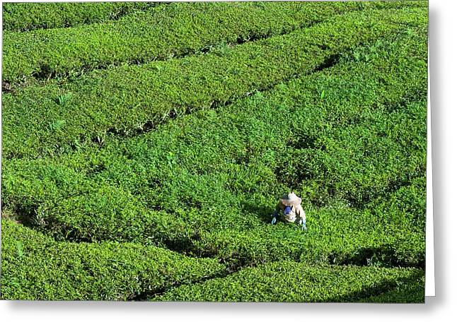 Worker On A Tea Plantation Greeting Card by Scubazoo