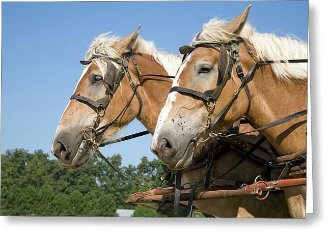 Working Farm Horses Greeting Card