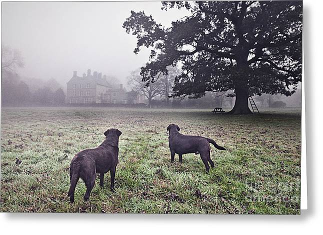Working Labradors In Field Greeting Card by Justin Paget