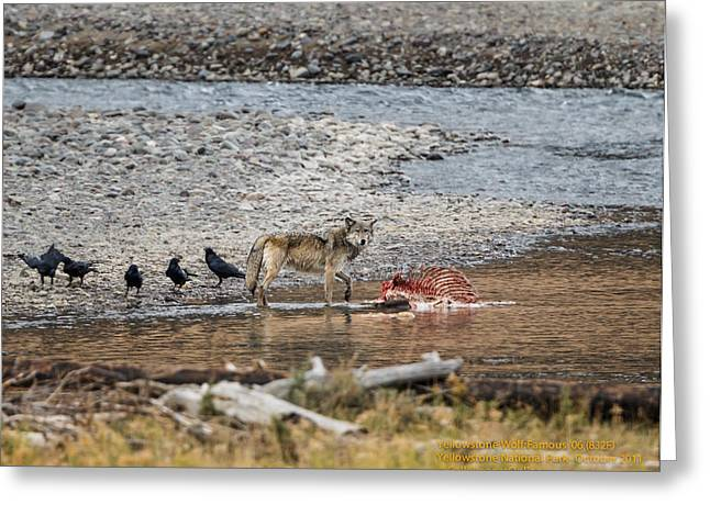World Famous Yellowstone Gray Wolf 06' Greeting Card