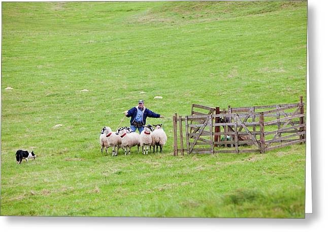 World Sheep Dog Trials Greeting Card by Ashley Cooper