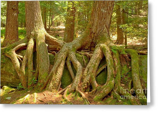 Wrapped In Roots Greeting Card by Adam Jewell