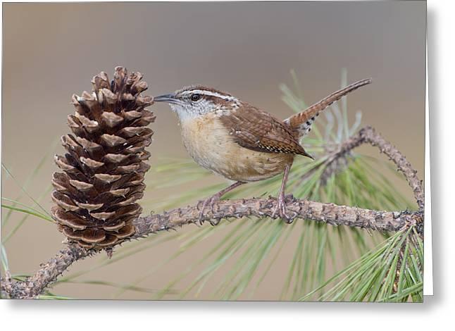 Wren In Pine Tree Greeting Card