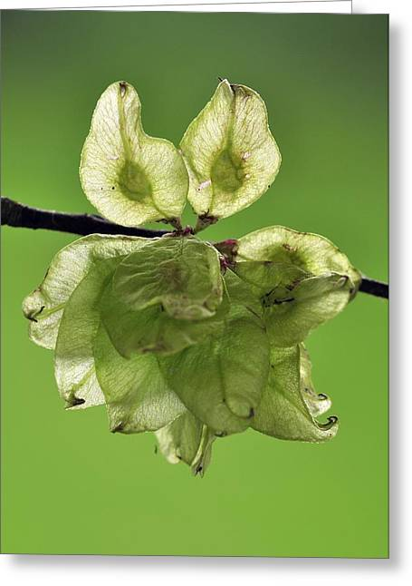 Wych Elm (ulmus Glabra) Greeting Card by Science Photo Library