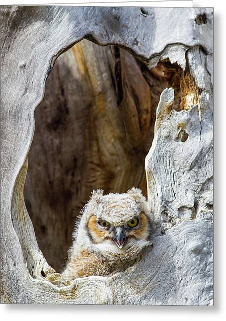 Wyoming, Lincoln County, Great Horned Greeting Card by Elizabeth Boehm