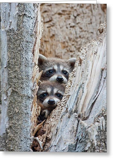 Wyoming, Lincoln County, Raccoon Young Greeting Card by Elizabeth Boehm