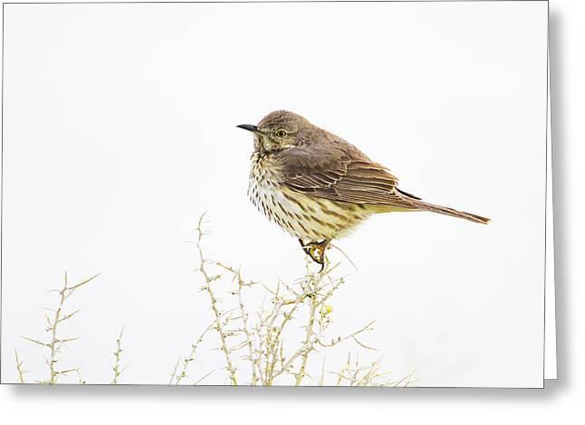 Wyoming, Lincoln County, Sage Thrasher Greeting Card by Elizabeth Boehm