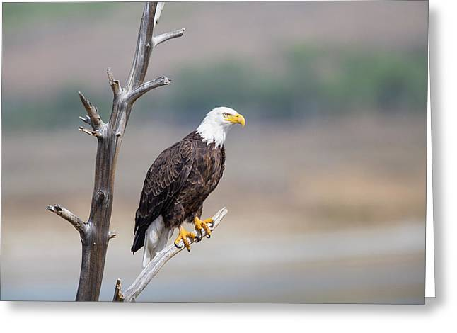 Wyoming, Sublette County, Bald Eagle Greeting Card by Elizabeth Boehm