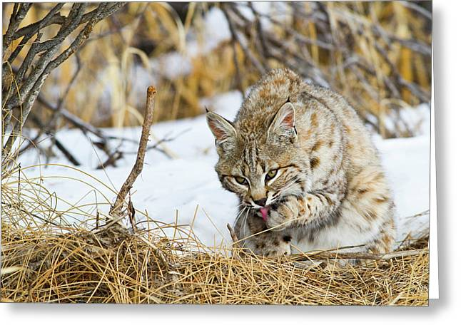 Wyoming, Sublette County, Bobcat Greeting Card by Elizabeth Boehm