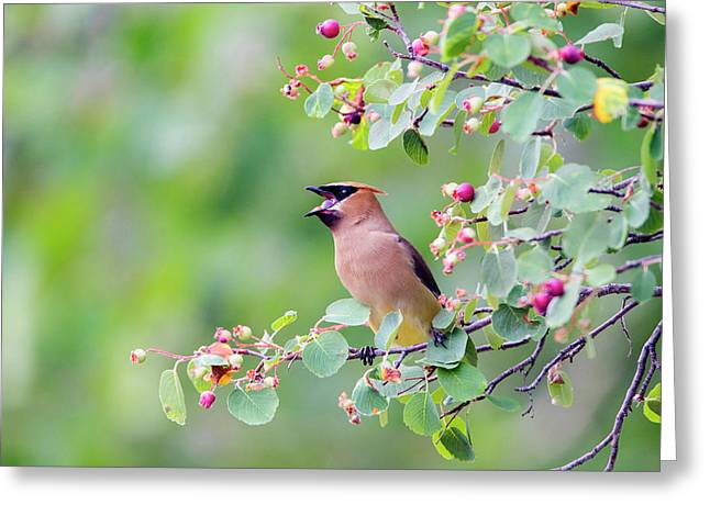 Wyoming, Sublette County, Cedar Waxwing Greeting Card