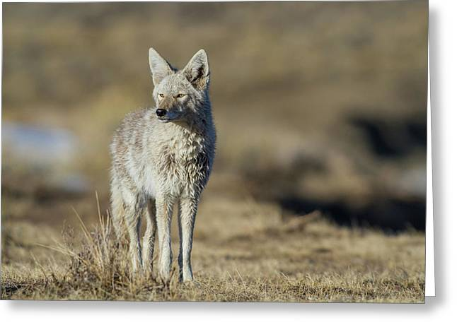 Wyoming, Sublette County, Coyote Greeting Card