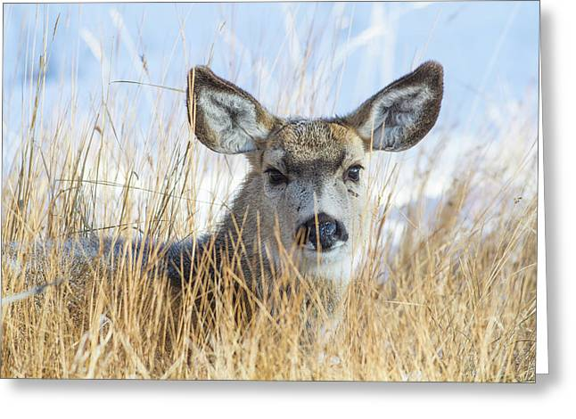 Wyoming, Sublette County, Mule Deer Doe Greeting Card by Elizabeth Boehm