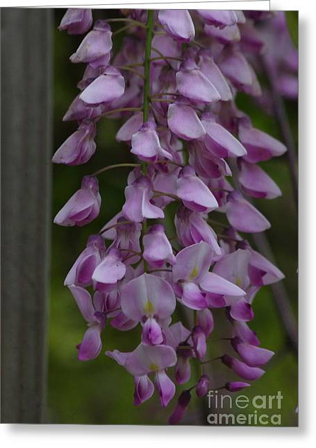 Wysteria Blooms Greeting Card by Tannis  Baldwin