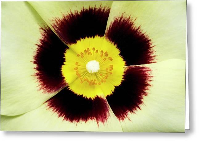 X Halimiocistus Wintonensis Greeting Card