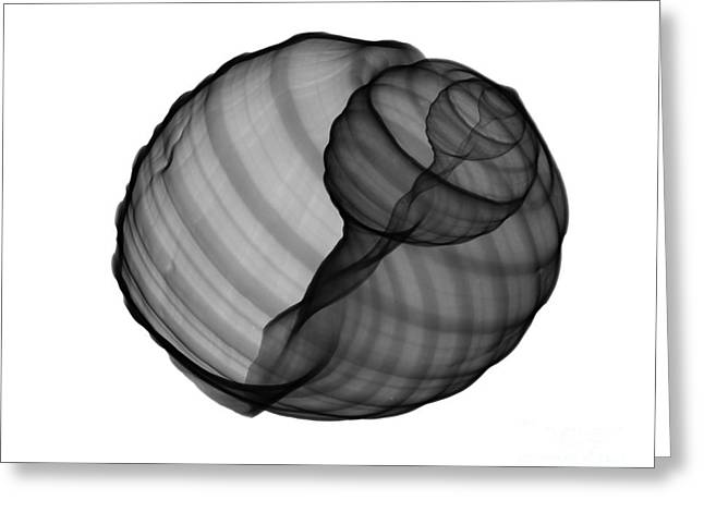 X-ray Of Tun Shell Greeting Card by Bert Myers